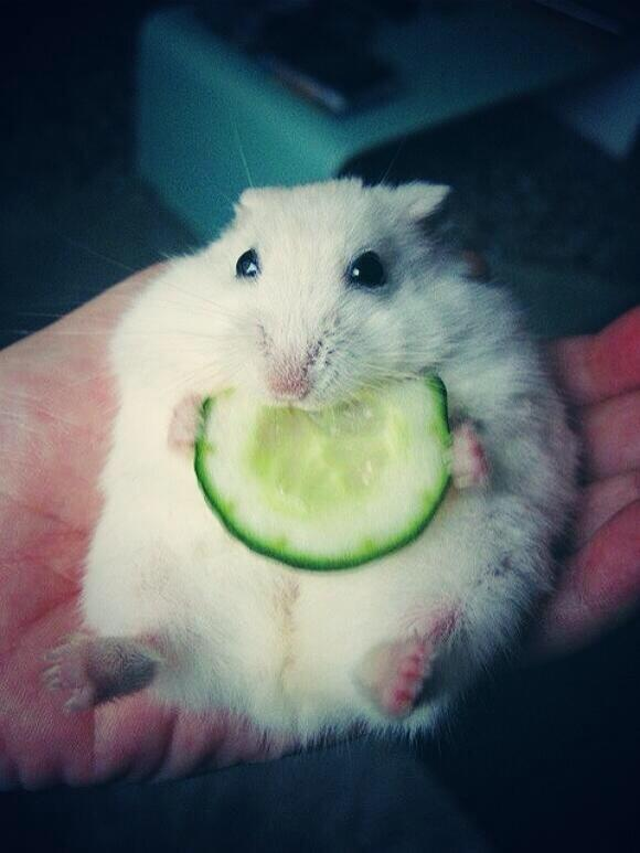 baby hamster eating a cucumber by saqopakajmer-d6nxs6p